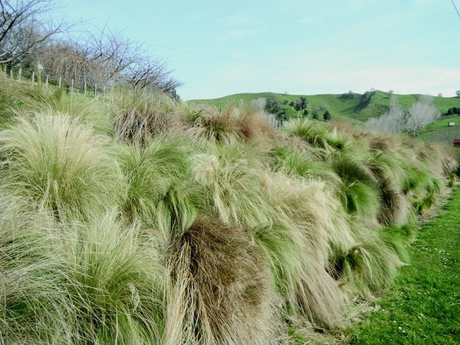Mexican feathergrass (Nassellatenuissima) invading a hillside in New Zealand. New Zealand Government