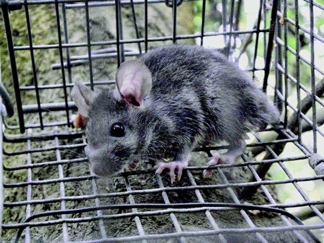 Figure 1. Roof rat in live capture trap. Niamh Quinn