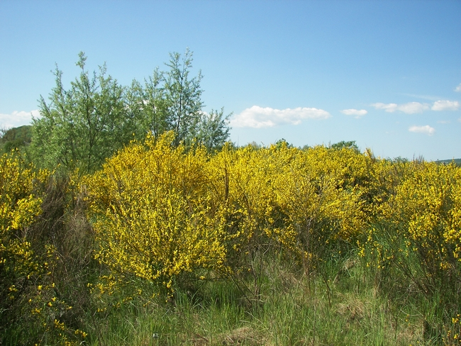Figure 1. An infestation of scotch broom. [S. Oneto, UCCE]