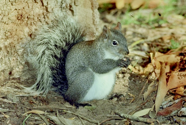 Figure 1. Western gray squirrel. (Dr. Lloyed Glenn Ingles copyright California Academy of Sciences)