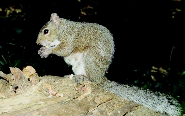 Figure 2. Eastern gray squirrel. (J. P. Clark, UC)