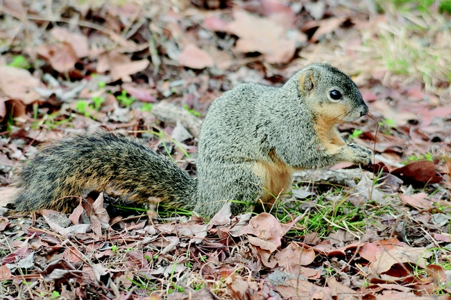 Figure 3. Eastern fox squirrel. (C. Christie, Baker, City, OR)