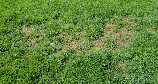 Figure 1. Patch of turfgrass killed by billbugs. [J.K. Clark, UC IPM]