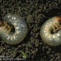 Masked chafer larvae (white grubs)