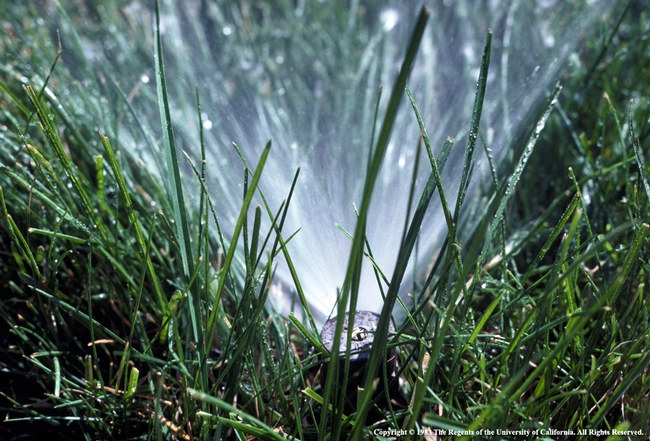 Lawn with sprinkler photo by UC ANR