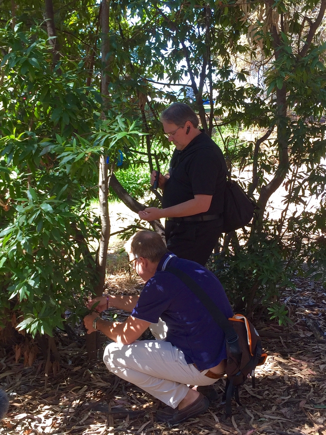 Doug Schmidt, standing, and Matteo Garbelotto examine a bay laurel on the UC Berkeley campus.
