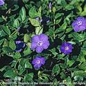 Big periwinkle, vinca major. [J. M. DiTomaso]