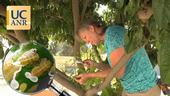 Inspect the new flush on citrus trees to see whether the tree is infested with Asian citrus psyllid. (View a four-minute video below.)