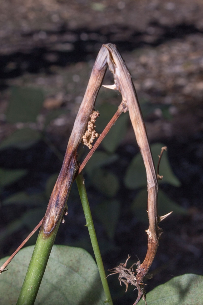 Symptoms of Erythrina stem borer. [D.R.Hodel]