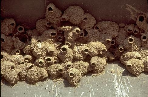 Mud nests made by a colony of cliff swallows. [W.P.Gorenzel]