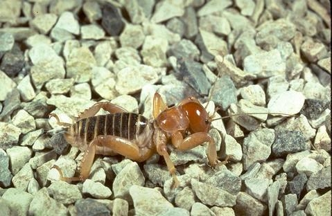 Adult Jerusalem cricket. [A.Antonelli]