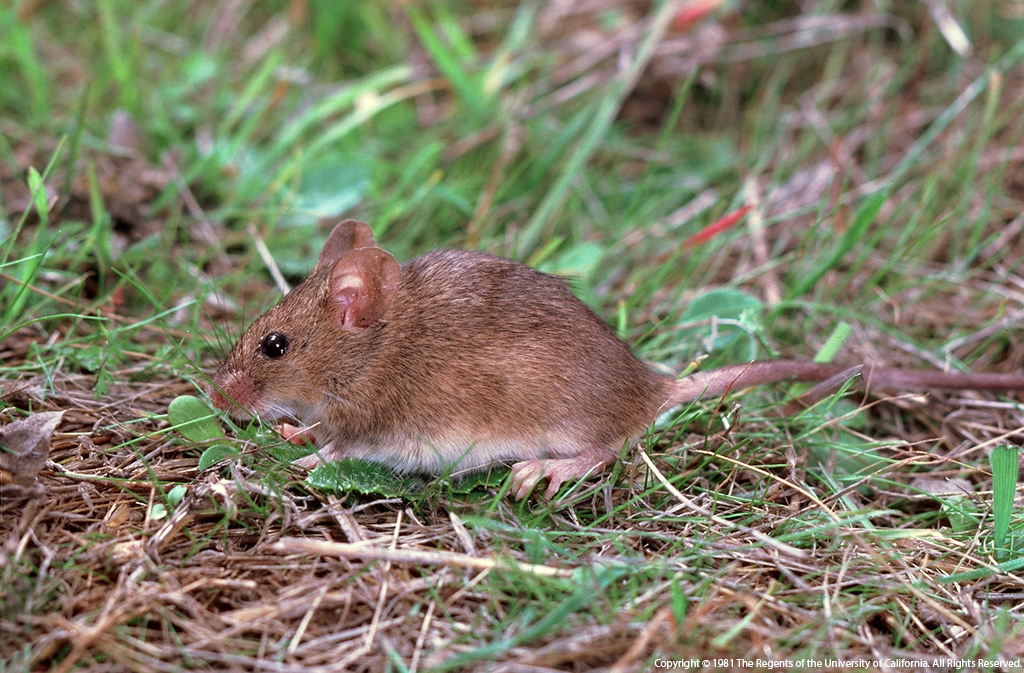 Rodent Control in and Around Backyard Chicken Coops - Pests in the