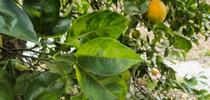 Asymmetrical yellow mottling of citrus leaves and greening of fruit, symptoms of huanglongbing. (E. Grafton-Cardwell) for Pests in the Urban Landscape Blog