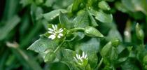 Chickweed leaves and flower. (Jack Kelly Clark) for Pests in the Urban Landscape Blog