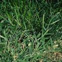 Fig 1. Large crabgrass. (Credit: Clyde Elmore)