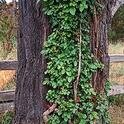 Poison-oak growing on a tree as a climbing vine. (Credit: Joseph M. DiTomaso)