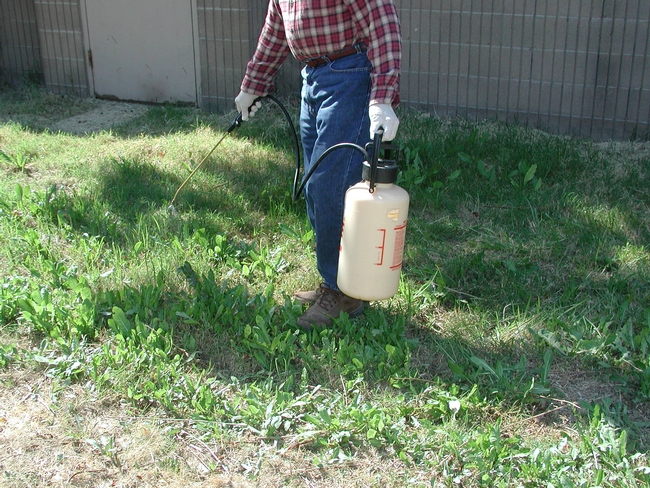 Applying glyphosate from a hand-held sprayer to control weeds. (Credit: CA Reynolds)