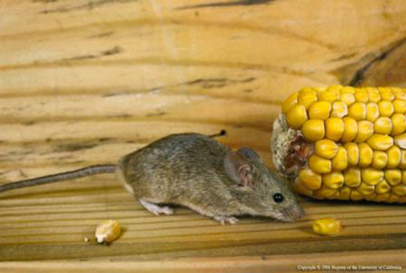 House mice prefer grains but will consume many different foods. (Credit: R Marsh)