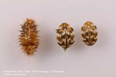 Larval cast skin and adult varied carpet beetles. (Credit: DH Choe)