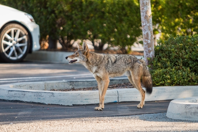 Urban coyote sightings can be recorded at the Coyote Cacher website. (Credit: National Park Service)