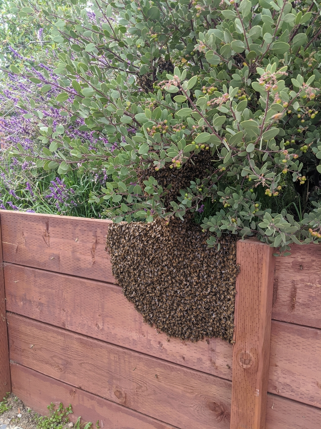 Swarm of honey bees resting atop redwood fence in backyard garden.