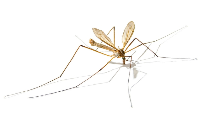 Adult European crane fly on white backdrop.