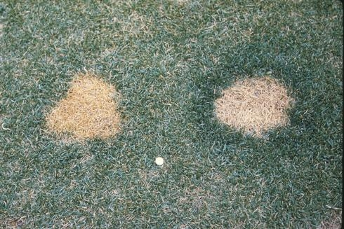 Figure 4. Turfgrass killed by dog urine (Credit: EJ Perry)