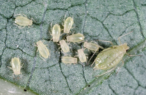 3 Aphids