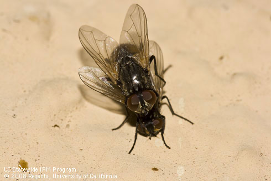 Two black house flies mating.