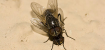 Adult house flies mating (Credit: LL Strand) for Pests in the Urban Landscape Blog