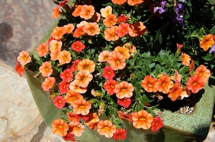 Calibrachoa 'Dreamsicle'