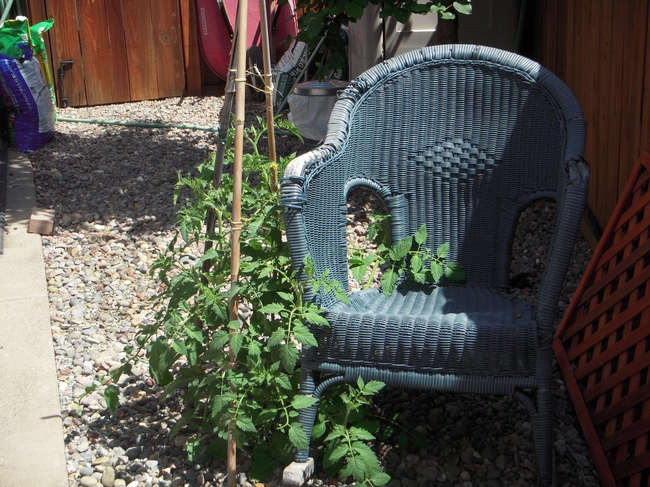 Volunteer tomato with chair. (photos by Launa Herrmann)