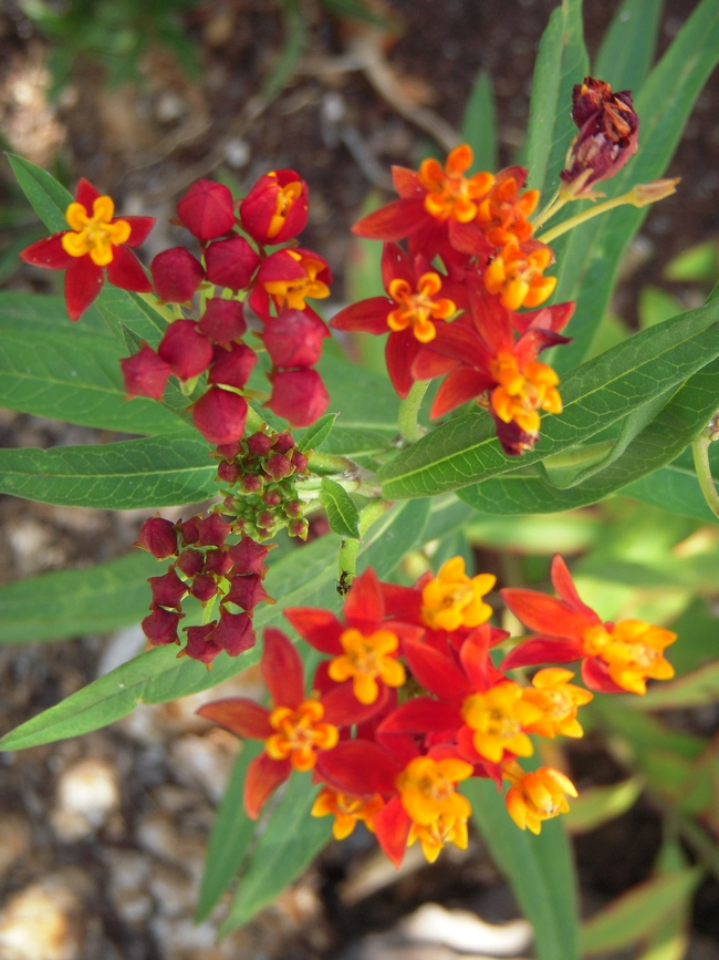 Butterfly Weed flowers. (photos by Launa Herrmann)