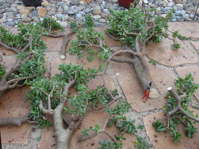 Note trunk size of jade as compared to pruners.