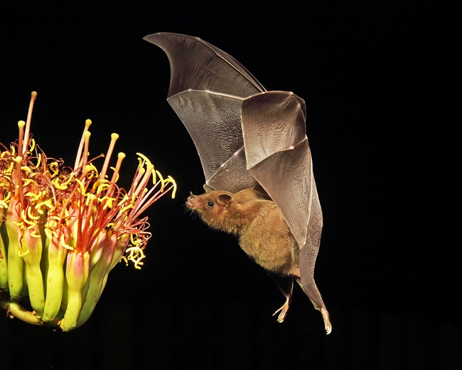 A bat approaches an agave branch in Sonoita, Arizona. Photo by National Wildlife Photo Contest entrant John Hoffman