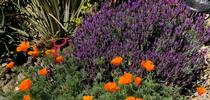 Poppies and lavendar. photos by Trisha Rose for Under the Solano Sun Blog