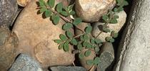 Small spurge plant. (photo by David Bellamy) for Under the Solano Sun Blog