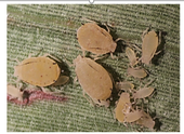Sugarcane aphid is yellow with black antennae and cornicles