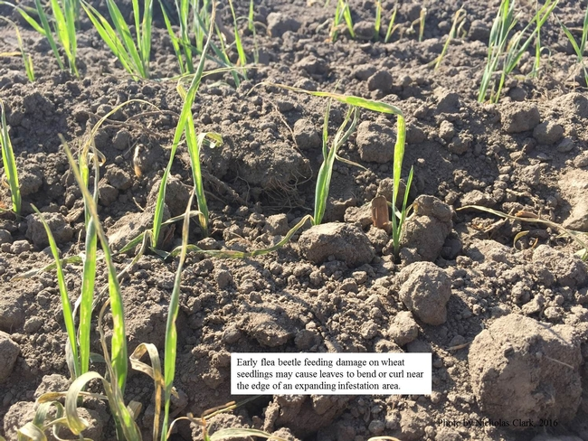Early damaged wheat seedlings from flea beetle feeding