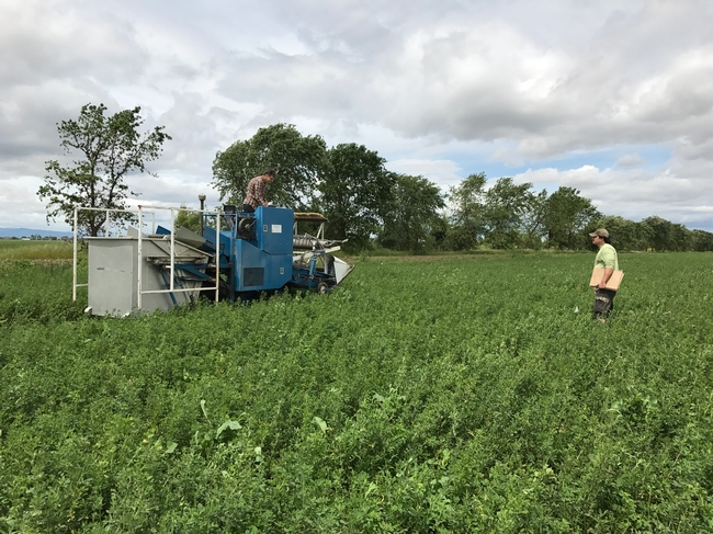 Harvesting alfalfa weevil research trials, 2017