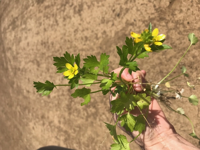 A healthy spiny buttercup (Ranunculus muricatus).