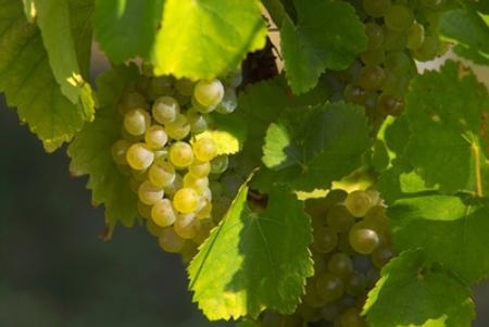 When the weather gets really hot, grapes go into survival mode.