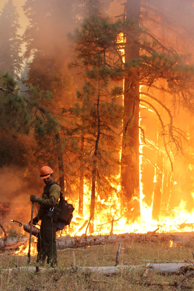 A firefighters monitors a backfire while Rim Fire rages in the background. (Photo: U.S. Forest Service)