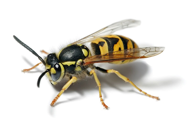 Yellow jackets, like the one above, are often confused with European paper wasps. (Photo: Wikimedia Commons)