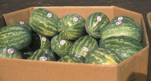 Small-sized watermelons are more popular than monstrosities.