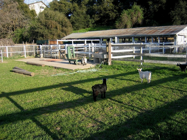 4-H youth conduct animal projects at the McClellan Ranch Preserve in Cupertino.