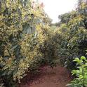 Coffee can benefit from the environment within an avocado orchard.