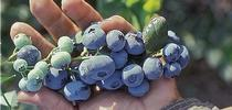 UC ANR researchers want to know how little water it takes to grow blueberries. for ANR News Blog Blog