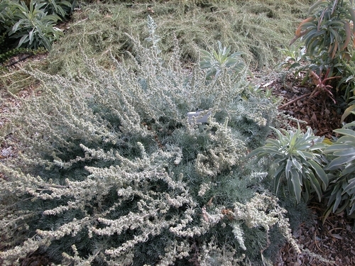 Drought-tolerant plants, like artemisia (above), gravel, sand and stones can be combined into a beautiful, low-water-use landscape.