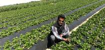 Surendra Dara in a Central Coast strawberry field. for ANR News Blog Blog
